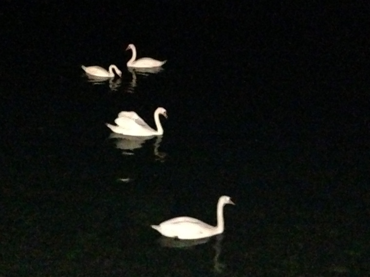 Swans on Lake Geneva. I don't want to go home!